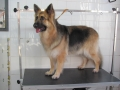28th DECEMBER - GERMAN SHEPHERD 014
